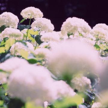 白い紫陽花(アナベル)