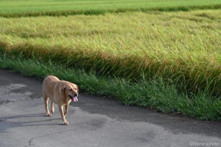 田んぼを散歩するワンちゃん