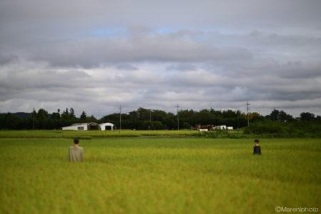 曇り空の田んぼ