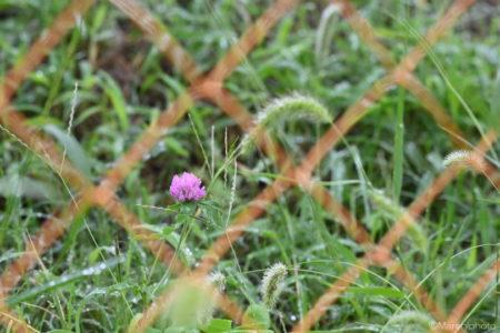 柵の向こうの花
