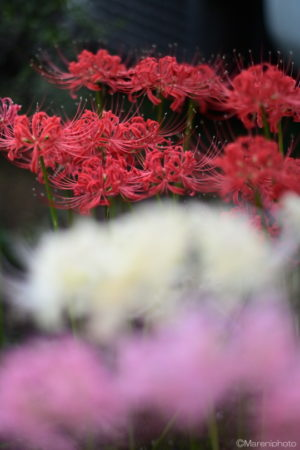 赤色の彼岸花