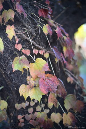紅葉した蔦の葉