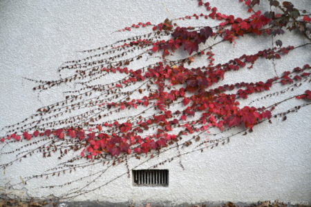 白壁と紅い蔦の葉
