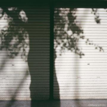イチョウの樹影