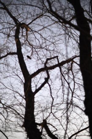 枯れ木のカラス