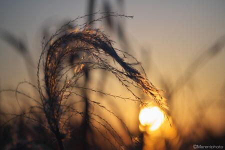 ススキの穂と朝日