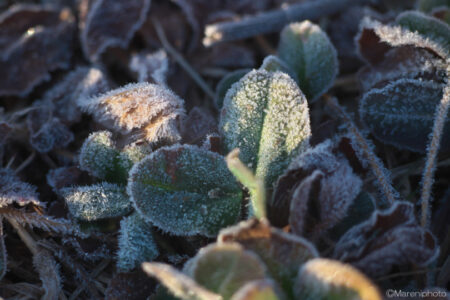 霜が付いた草