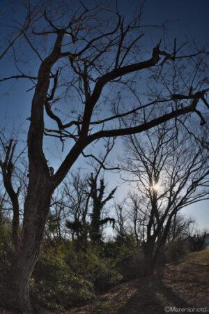 枯れ木と太陽