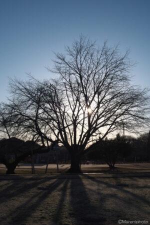 朝日と大木