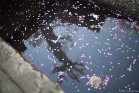 水面に浮く梅の花びら