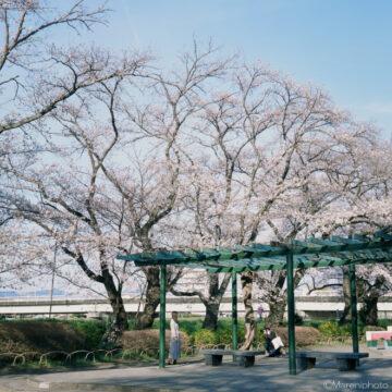 桜の下でポートレート撮影