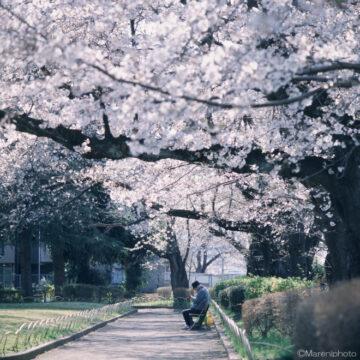 桜の樹とベンチに座る人