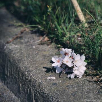 落ちた桜の枝